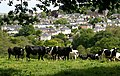 Cattle Over Totnes - geograph.org.uk - 1318701.jpg