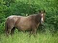 Cattle Tyrant on horse.jpg