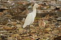 Cattle egret d1.jpg