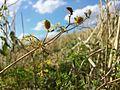 Caucalis platycarpos subsp. platycarpos sl19.jpg