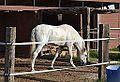 Cavall blanc al costat de la via Xurra, Alboraia.JPG
