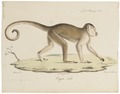 Cebus capucinus - 1818-1842 - Print - Iconographia Zoologica - Special Collections University of Amsterdam - UBA01 IZ20200172.tif