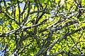Cedar waxwing (27763614420).jpg