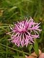 Centaurea nigrescens ssp nigrescens 1.jpg