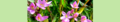 Centaurium erythraea. Reader-2.png