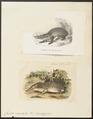 Centetes ecaudatus - 1700-1880 - Print - Iconographia Zoologica - Special Collections University of Amsterdam - UBA01 IZ20900033.tif