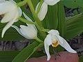 Cephalanthera longifolia FlowersCloseup 28Mach2009 SierraMadrona.jpg