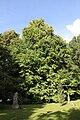 Cercidiphyllum japonicum Oliwa 2.JPG