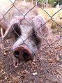 Cerdo de campo.jpg
