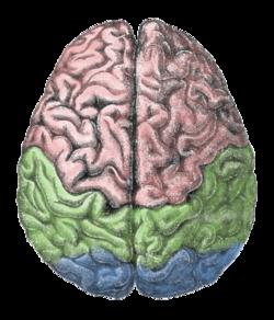 Gehirnlappen.png
