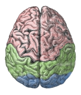 Diagram of the human brain.