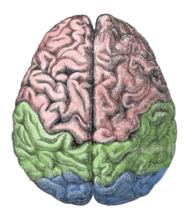 Lateralization of brain function Specialization of some cognitive functions in one side of the brain