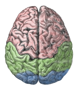 Lateralization of brain function - Image: Cerebral lobes