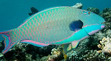 Cetoscarus ocellatus Great Barrier Reef.jpg