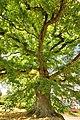 Chêne tricentenaire de Waldweistroff.jpg