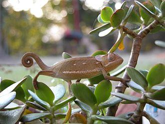 Chamaeleo - Chamaeleo dilepis, flap-necked chameleon