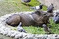Chapultepec Zoo - Collared peccary (01).jpg