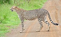 Cheetah (Acinonyx jubatus) on the road (16509940256), crop.jpg
