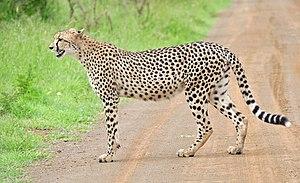 Cheetah (Acinonyx jubatus) on the road (16509940256), crop.jpg