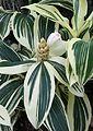 Cheilocostus speciosus variegatus kz1.jpg