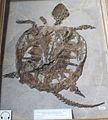 Chelydra murchisonii.jpg
