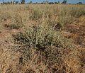 Chenopodium auricomum.jpg