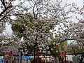 """Cherry-Blossom-Viewing through the """"Tunnel"""" at Japan Mint in 201504 025.JPG"""