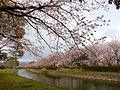 Cherry blossom trees at side of Tafuse River 20160330.JPG