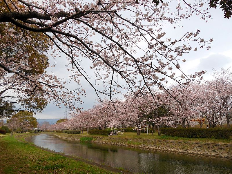 File:Cherry blossom trees at side of Tafuse River 20160330.JPG