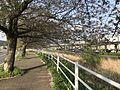 Cherry trees on bank of Inogawa River 3.jpg