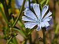 Chicory (Cichorium intybus) (6019614614).jpg