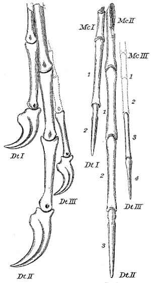 Chirostenotes - Holotype hand