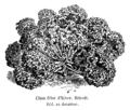 Chou frisé d'hiver bricoli Vilmorin-Andrieux 1904.png