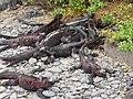 Christmas Iguanas - Marine Iguanas - Espanola - Hood - Galapagos Islands - Ecuador (4870947875).jpg