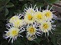 Chrysanthemum 'Vesuvius'.jpg