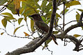 Chrysococcyx minutillus -Daintree, Queensland, Australia-8.jpg