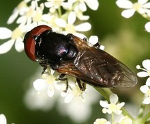 Chrysogaster cemeteriorum (male).jpg