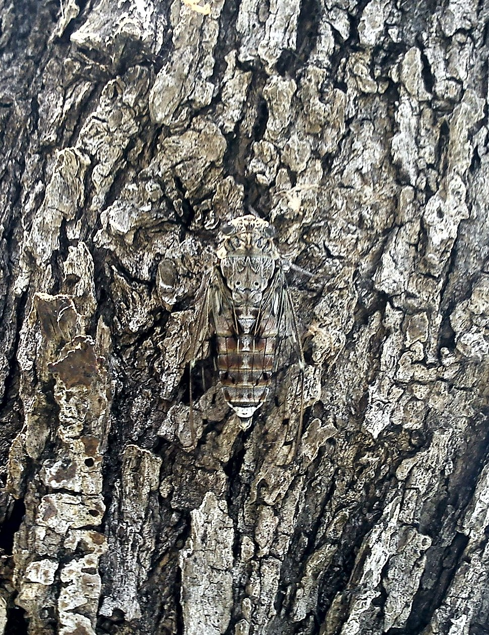 Cicada camouflaged on an olive tree