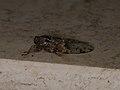 Cicadidae sp. (39332252770).jpg