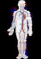 Circulatory System en.png