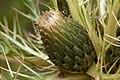 Cirsium drummondii - Flickr - aspidoscelis (3).jpg
