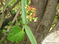 Cissus quadrangularis flower.jpg