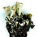 Cladonia carneola.jpg