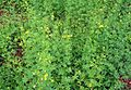 Cleome viscosa plants.JPG