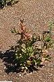 Clethra alnifolia 27zz.jpg