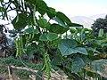 Climbing Green bean pods.jpg