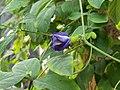 Clitoria ternatea (নীলকন্ঠ) Family- Fabaceae 2.jpg
