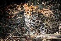 Close-up of a Leopard Cat in Sundarban