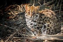 Close-up van een luipaardkat in Sundarban.jpg