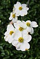 Close up of Dogwood flower (5618696549).jpg